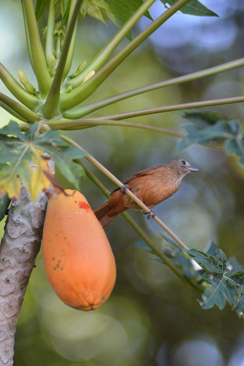 Papaya-raccolta-frutti