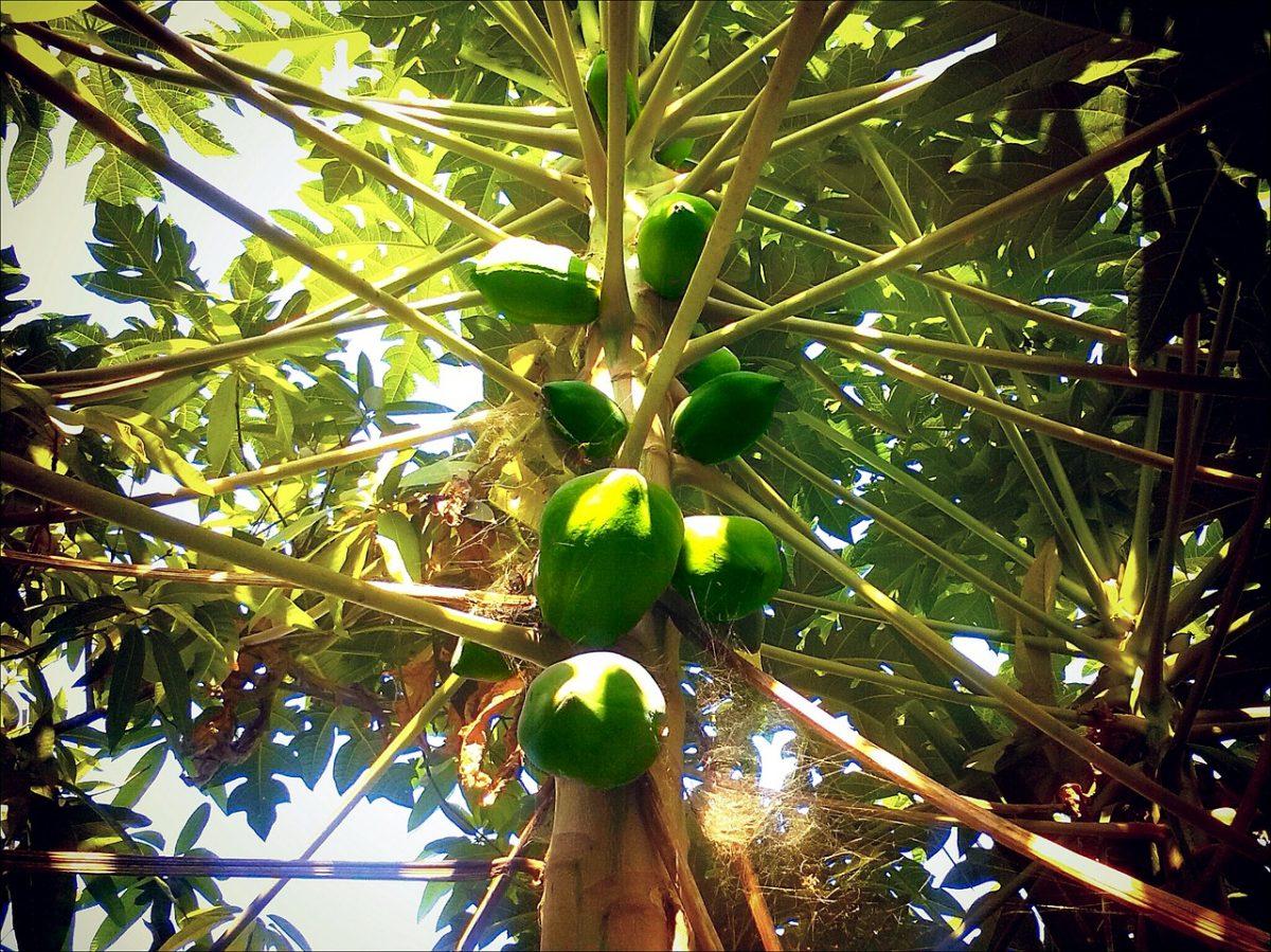 Papaya-curiosità