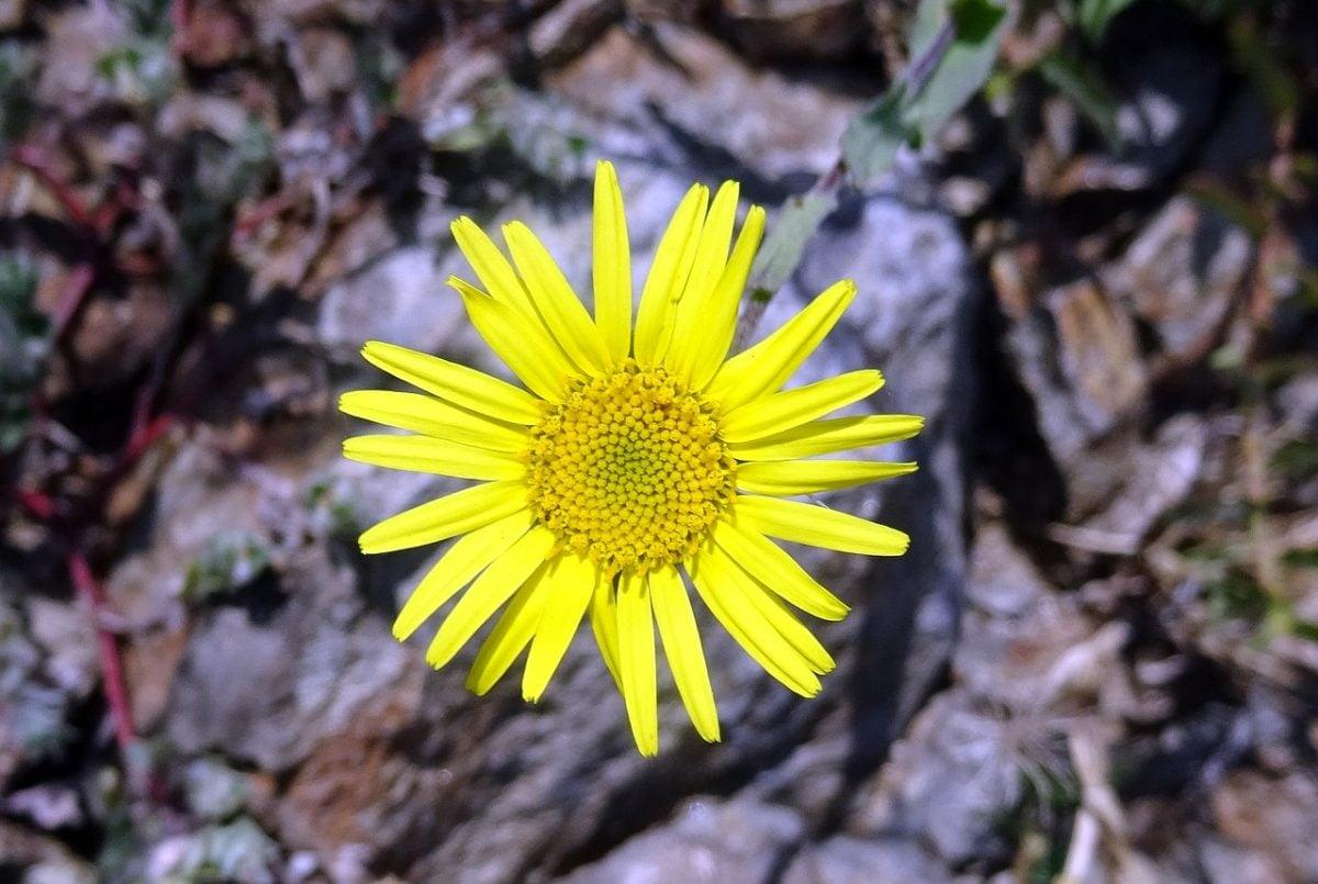 Pulicaria- fiore