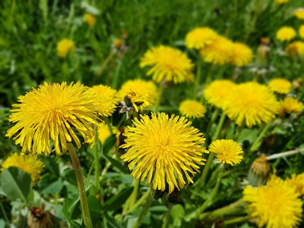 Sonchus-fiori