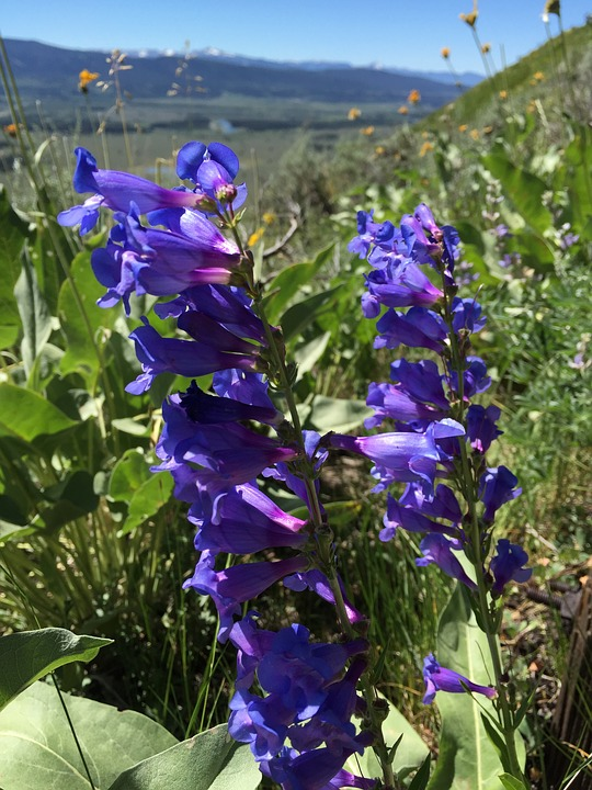Penstemon-heterophyllus- Beartongue blue