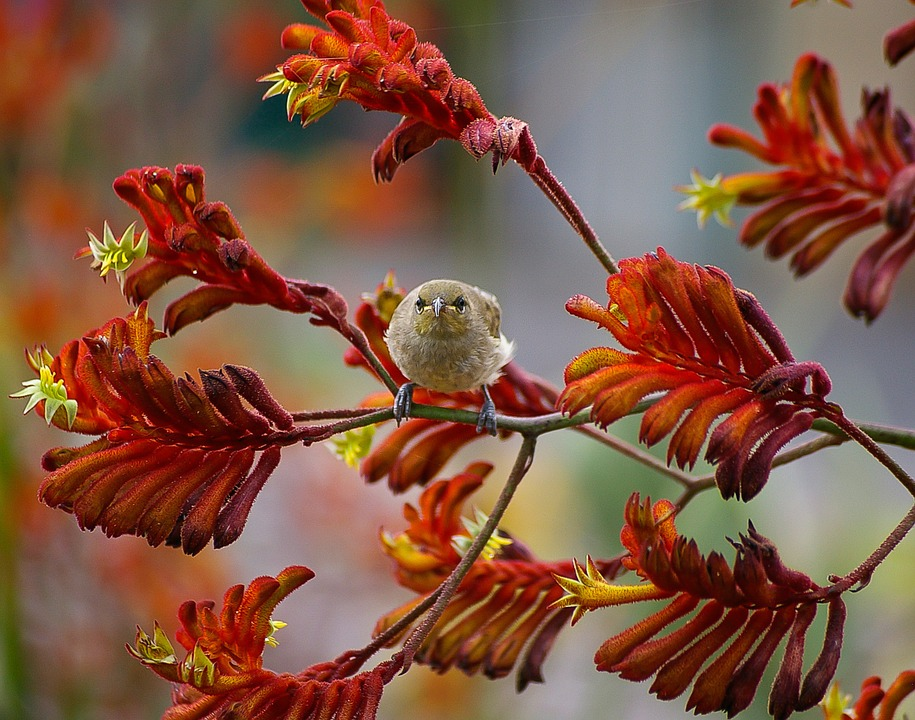 Anigozanthos-fioritura