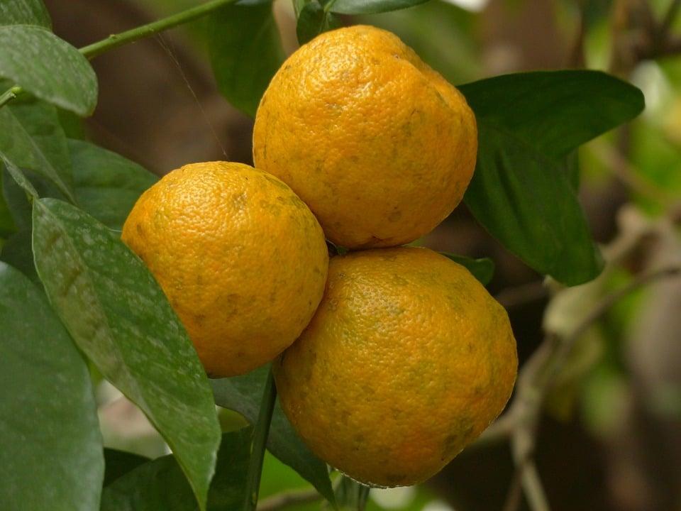 Poncirus-arancio-raccolta
