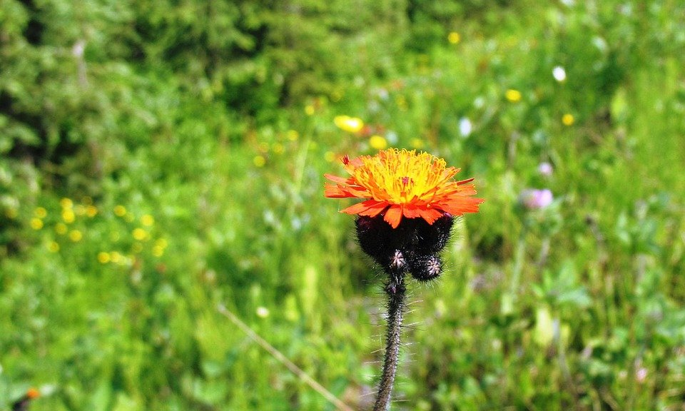 Gynura-aurantiaca-fiore