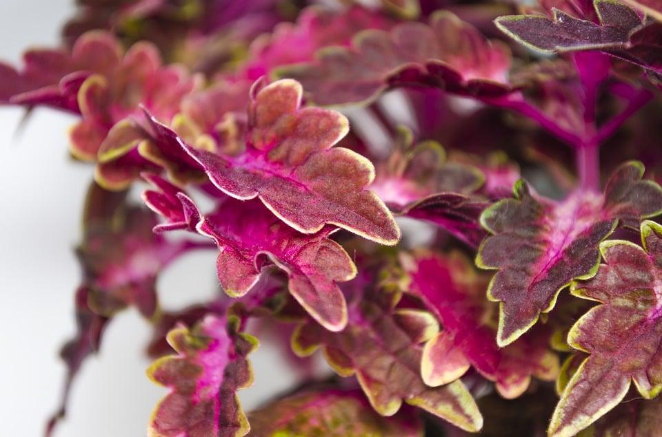 Gynura-pianta d'appartamento