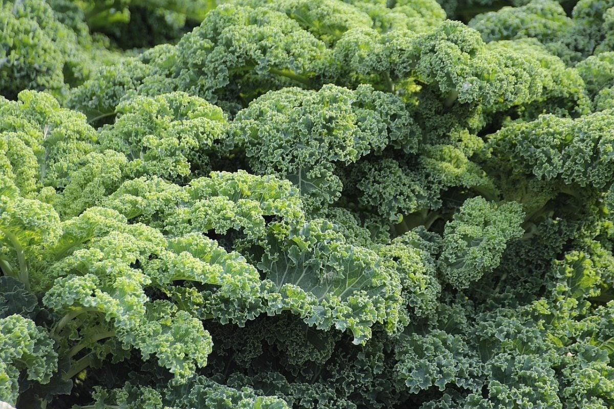 Kale-cavolo riccio