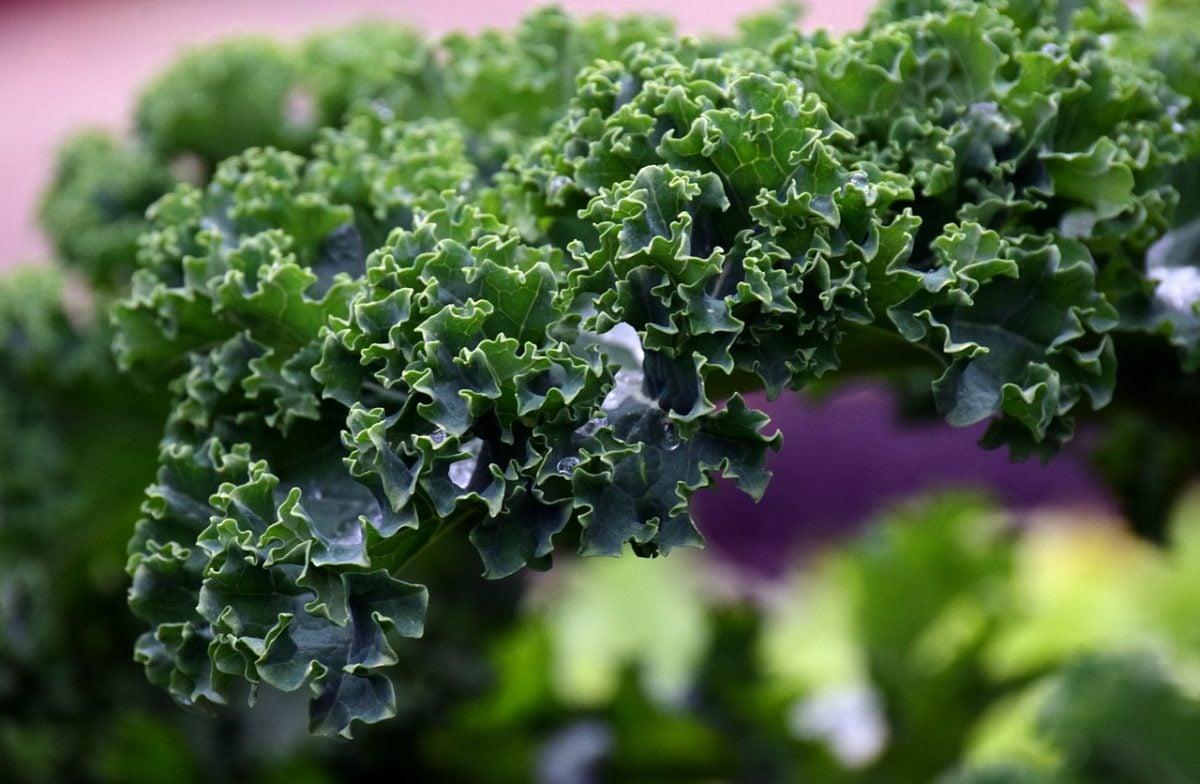 Kale-foglia
