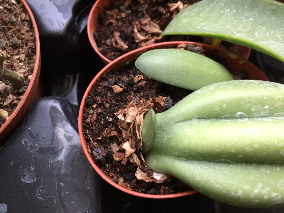 Rauhia-multiflora