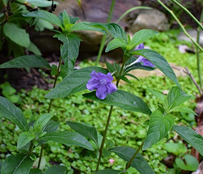Ruellia-foglie- wild-petunia