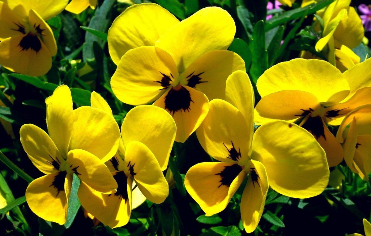 Viola del pensiero-fiori
