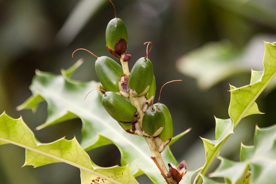 Acanthus-frutti