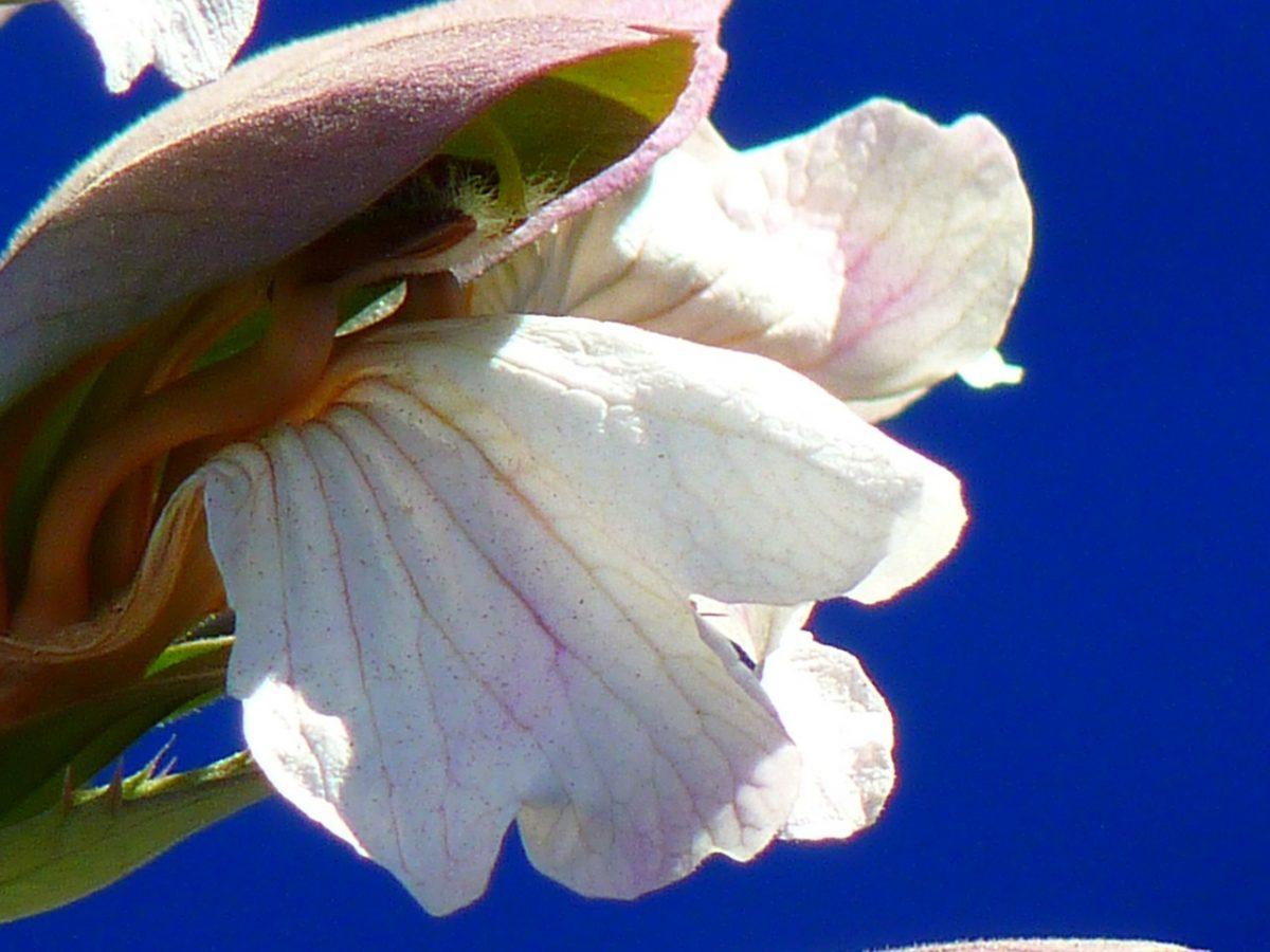 Acanto-fiore
