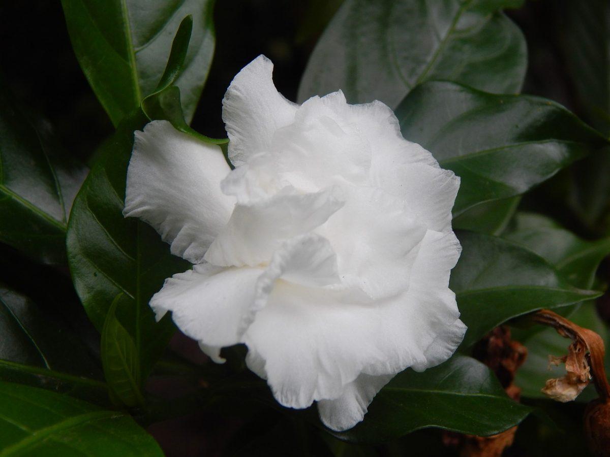 Gardenia-fiore.petali