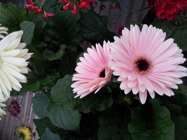 Gerbera-fiori-doppi