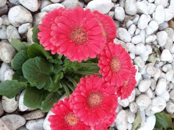 Gerbera coltivazione e cure for Fiori gerbere