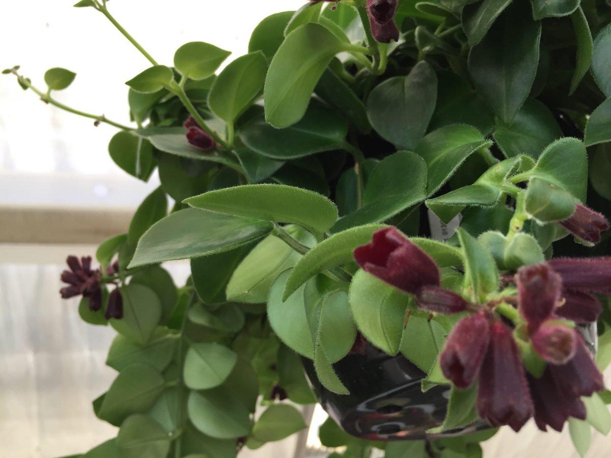 Columnea-gloriosa-foglie-fiori