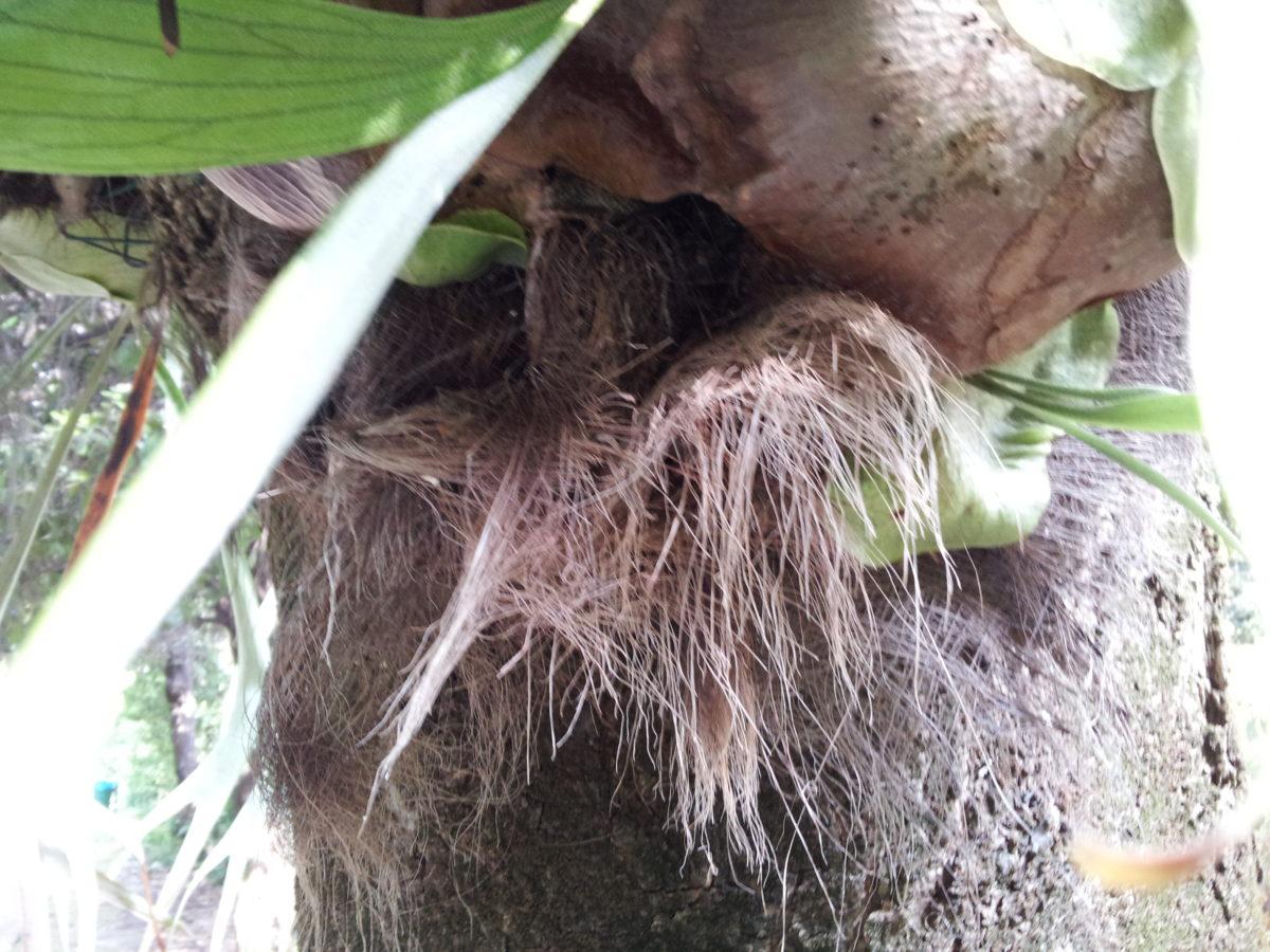 Platycerium pianta epifita