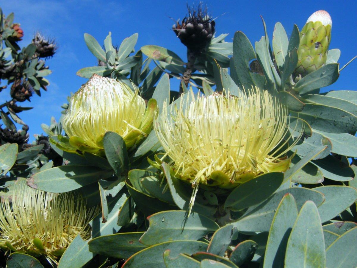 Protea-nitida
