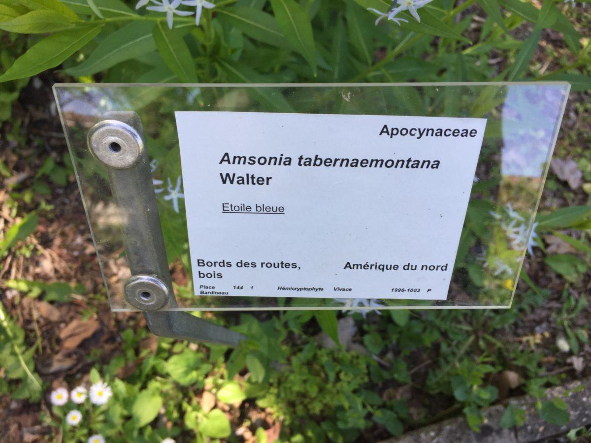 Amsonia-tabernaemontana-Walter