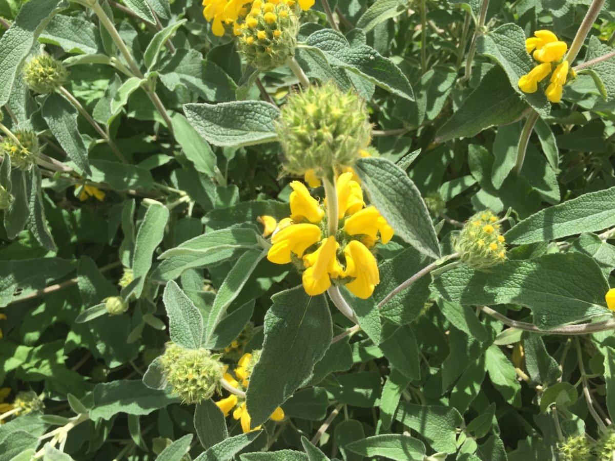 Phlomis fruticosa – Salvia di Gerusalemme – Salvione giallo