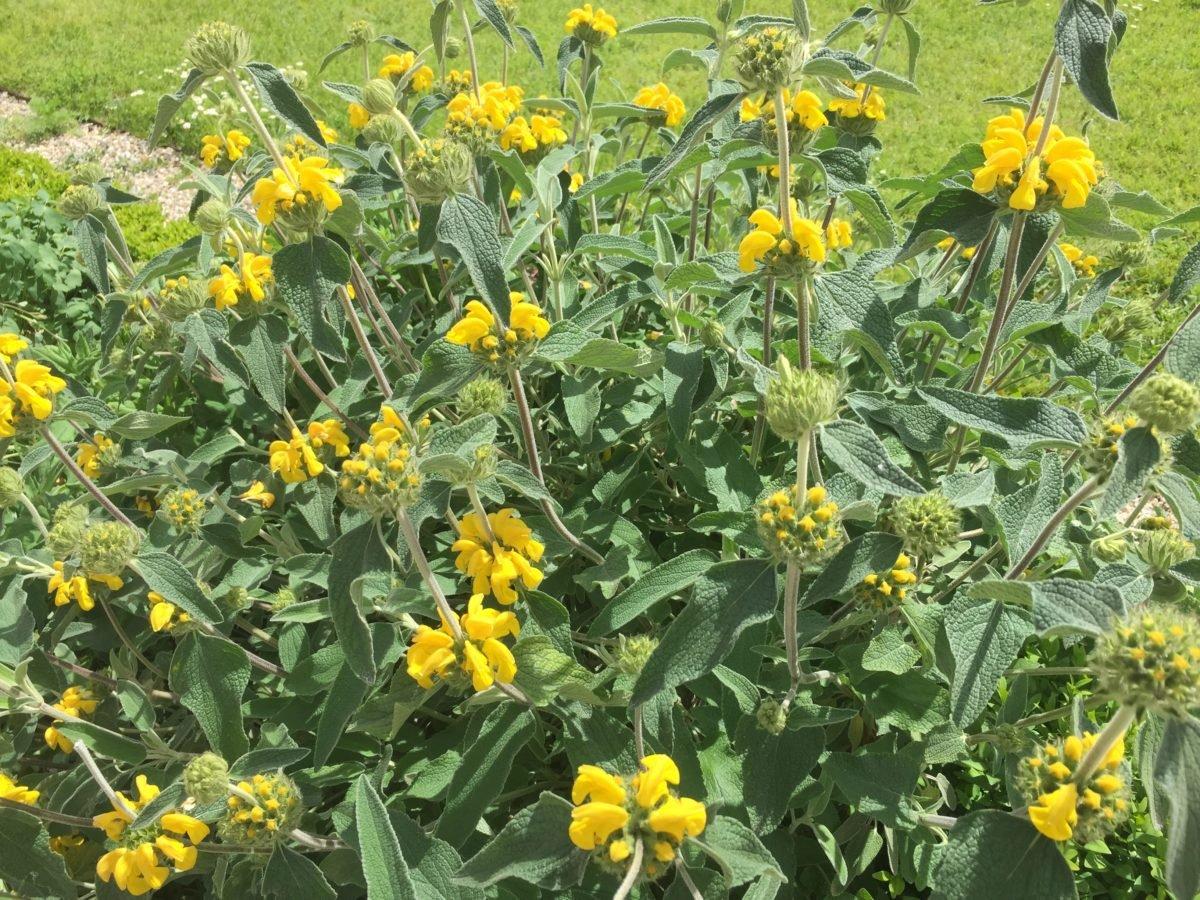 Phlomis-fioritura
