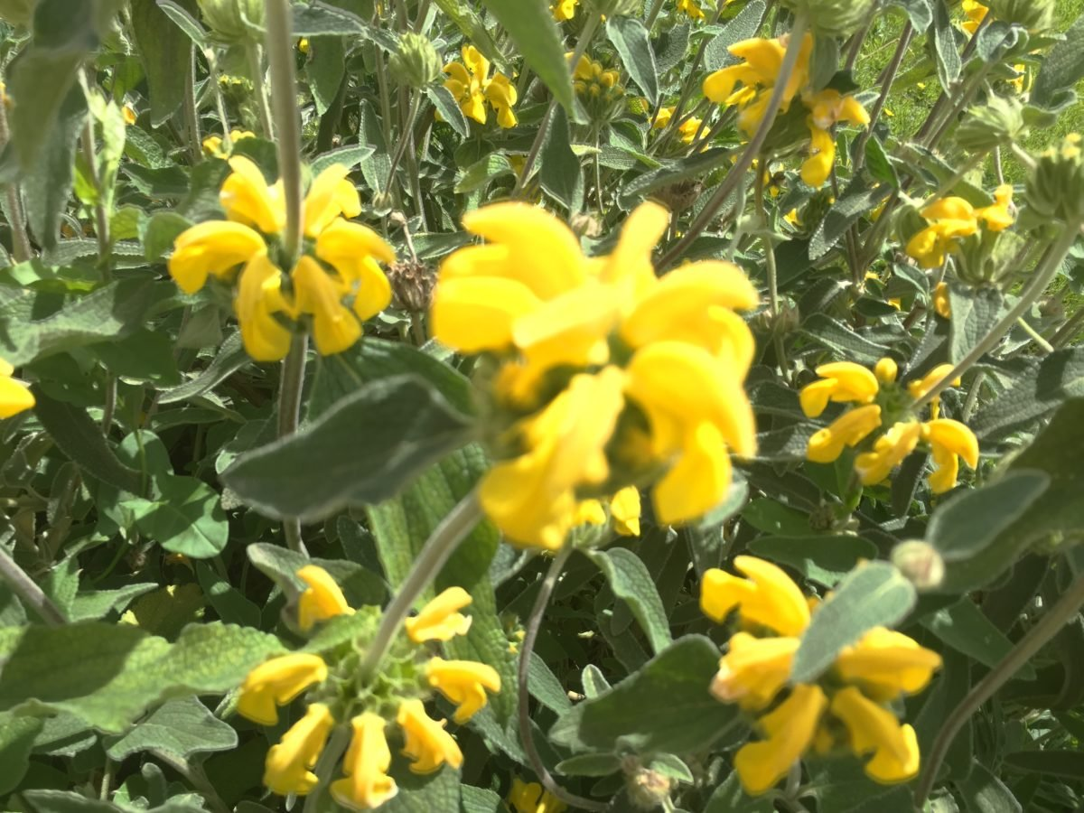 Phlomis-Salvione-giallo-fiori