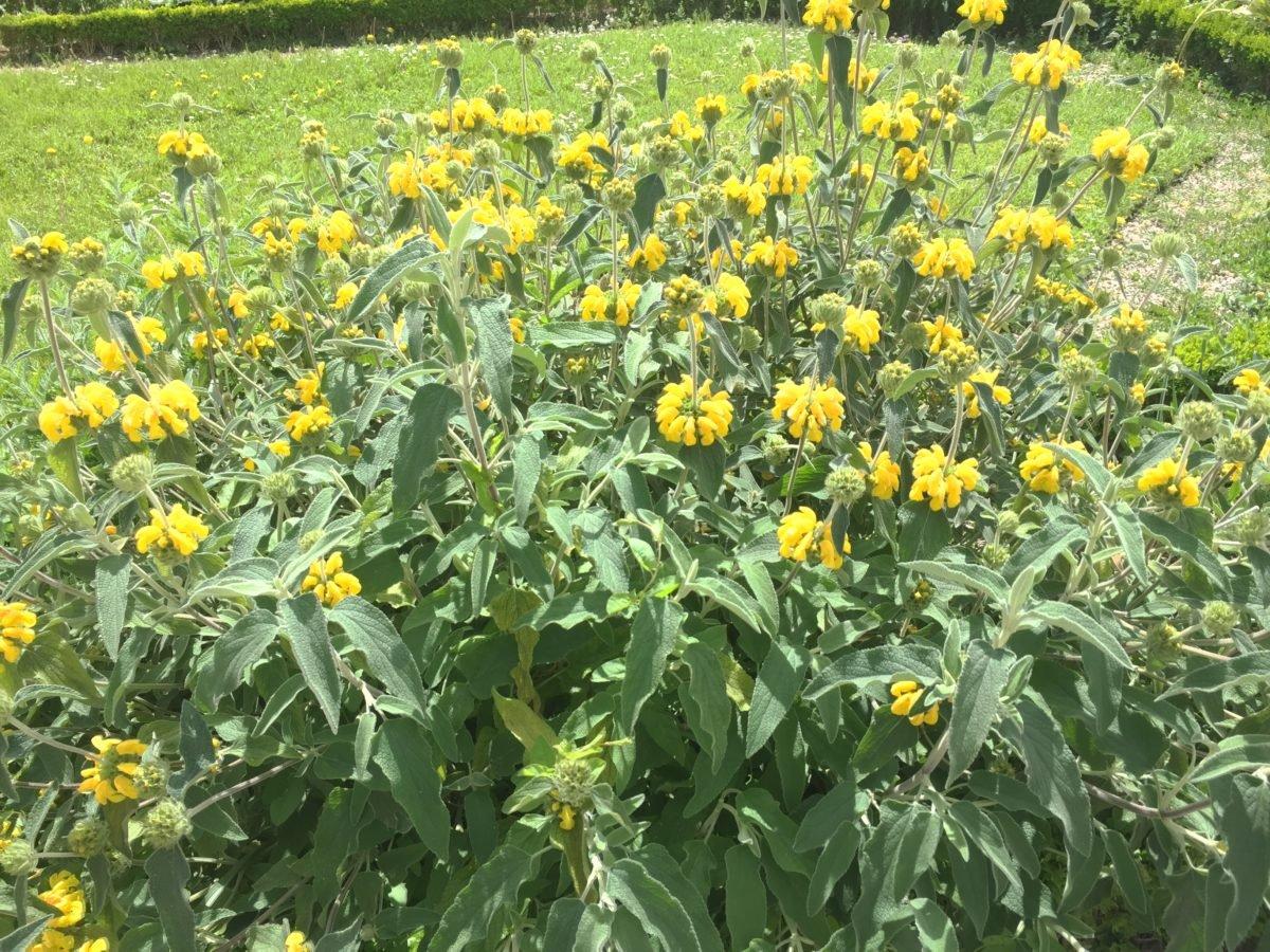 Phlomis-alvia-Gerusalemme-coltivazione
