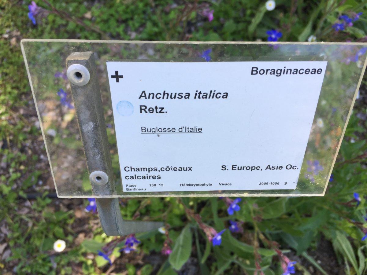 Anchusa Italica Retz