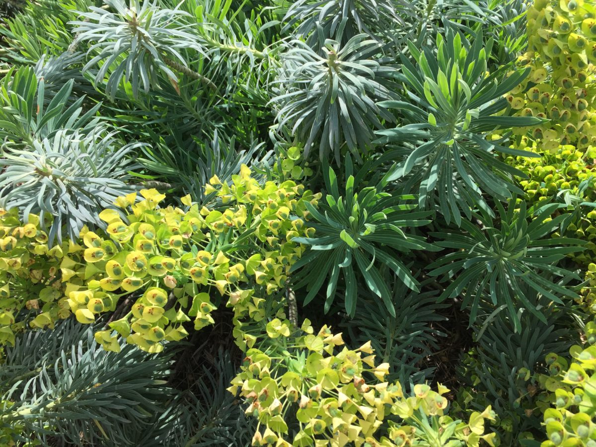 Euforbia cespugliosa – Euphorbia characias