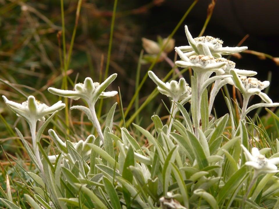 Stella alpina-Edelweiss-coltivazione
