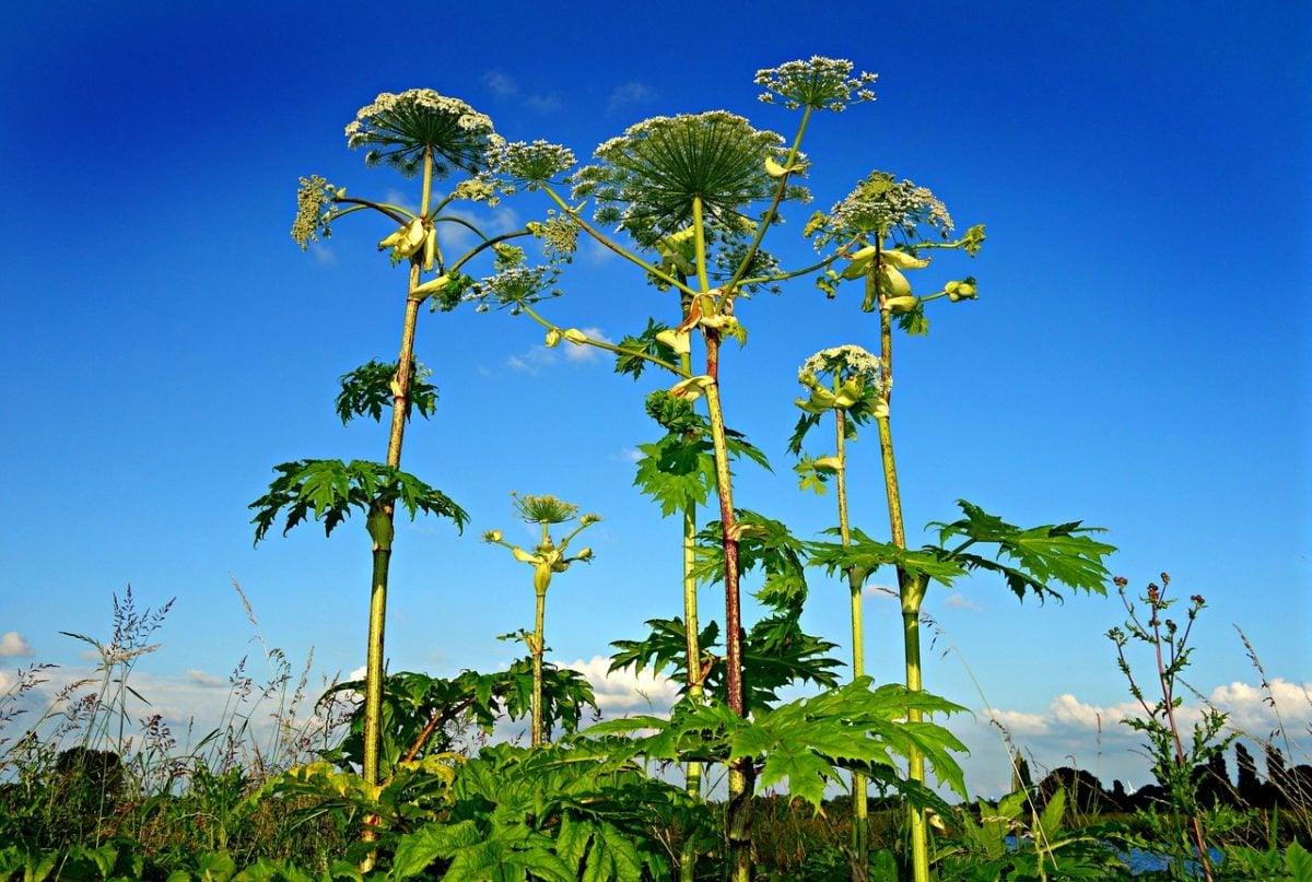 Heracleum sphondylium-erba medica