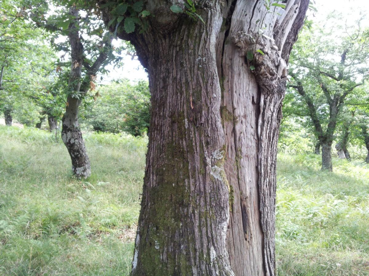 Castagno-tronco