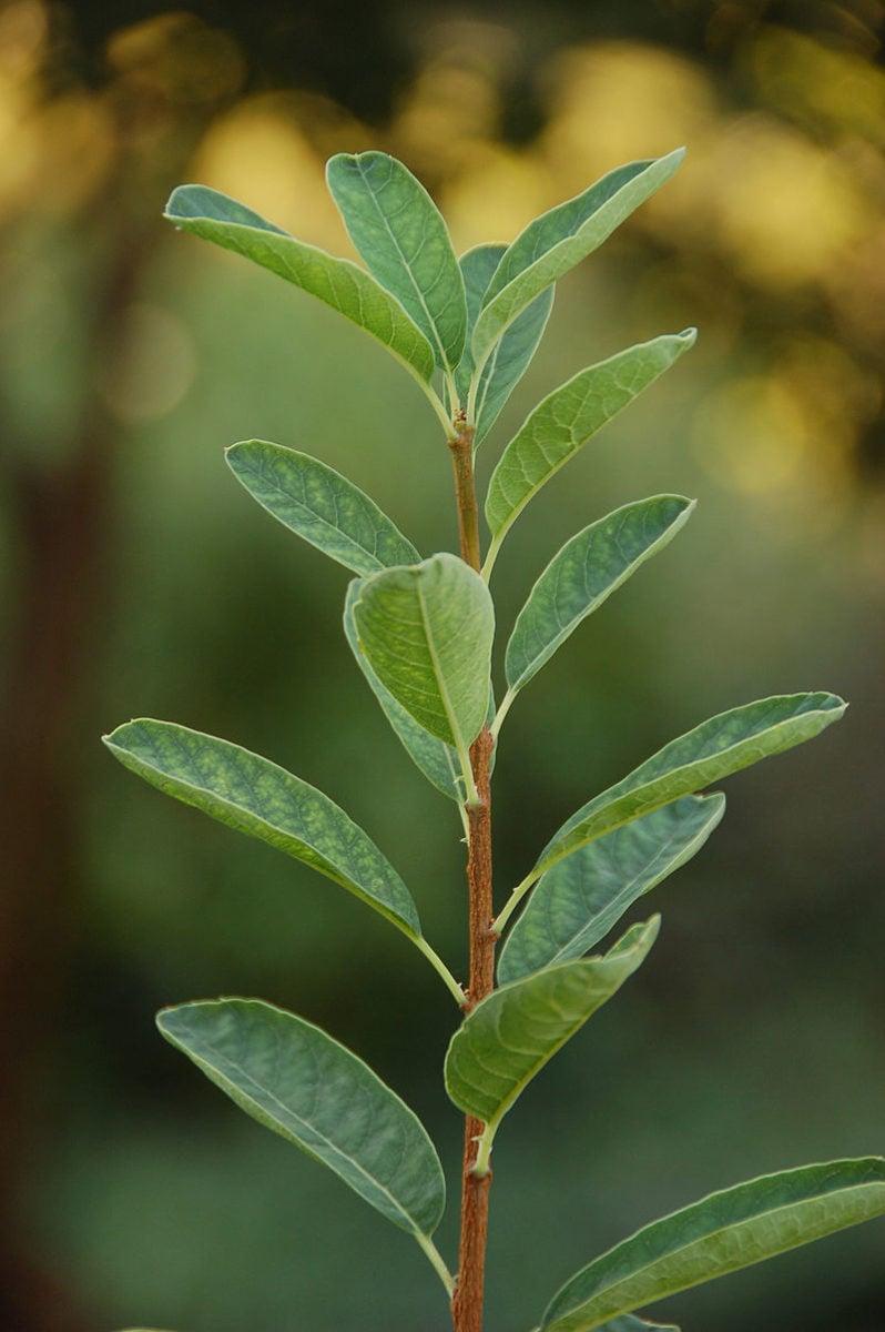 Exochorda-racemosa-foglie