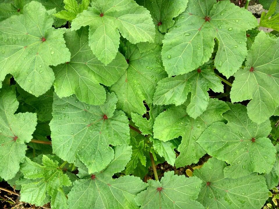 Gombo-Okra-foglie