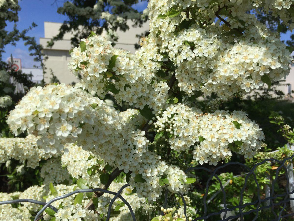 Exochorda-pianta primaverile
