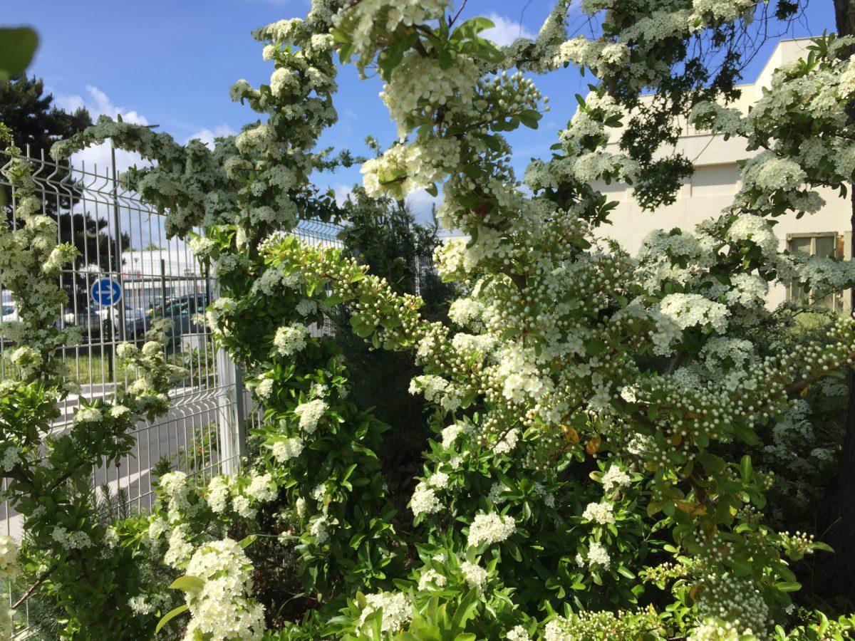 Albero Con Fiori Bianchi exochorda racemosa - albero delle perle