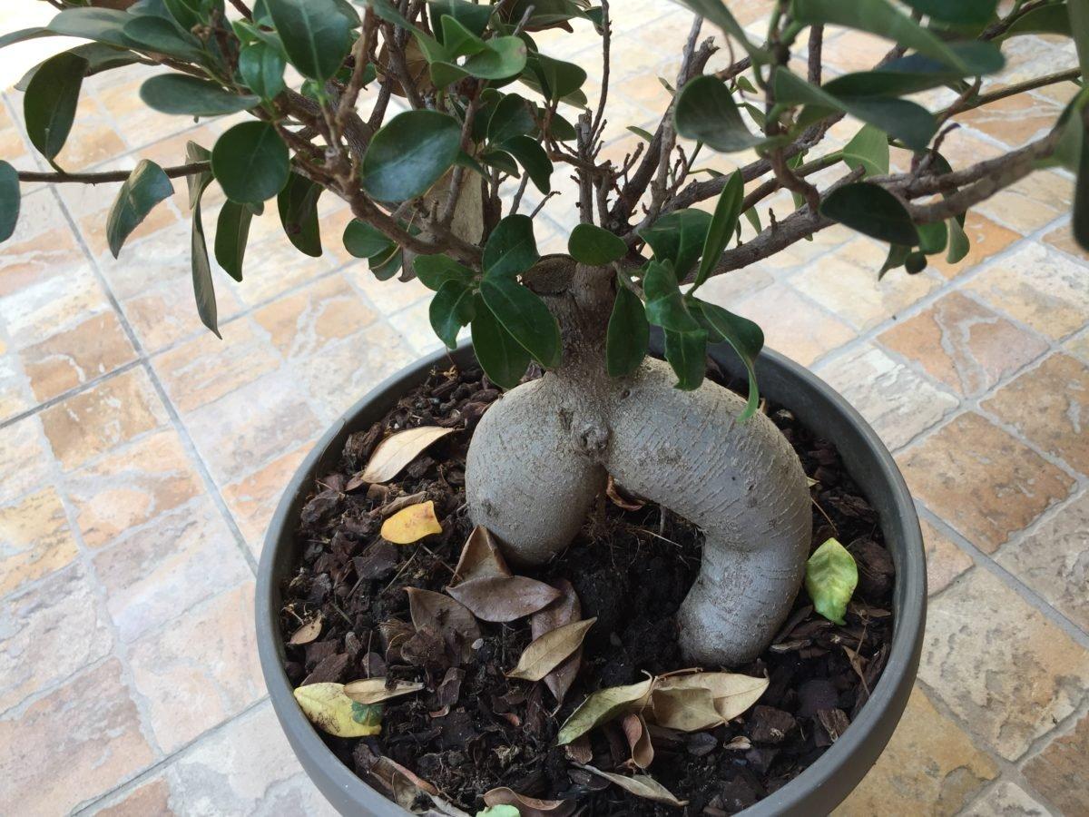 Potare Il Ficus Elastica bonsai ginseng - ficus microcarpa