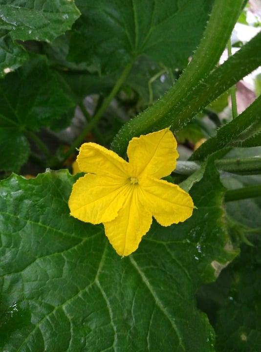 Luffa-cylindrica-fiore-foglie