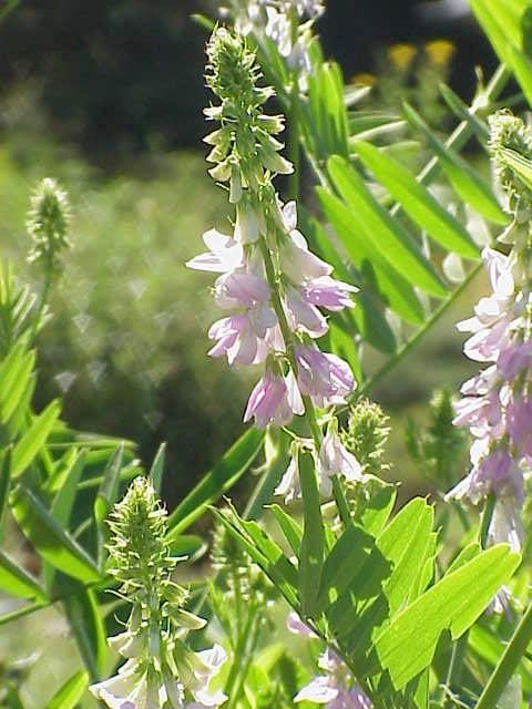 Galega-officinalis