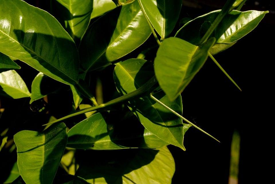 Lime-foglie