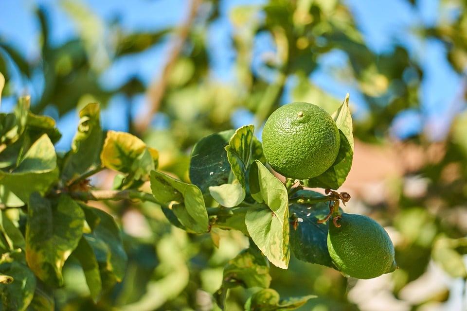 Lime-frutti