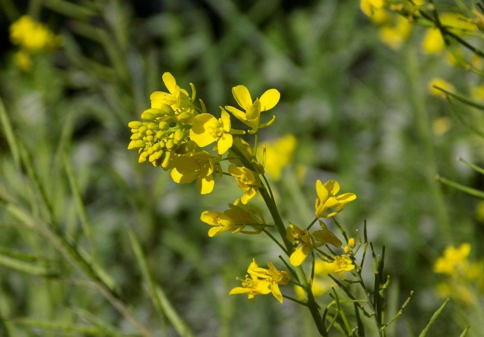 Senape-fiore