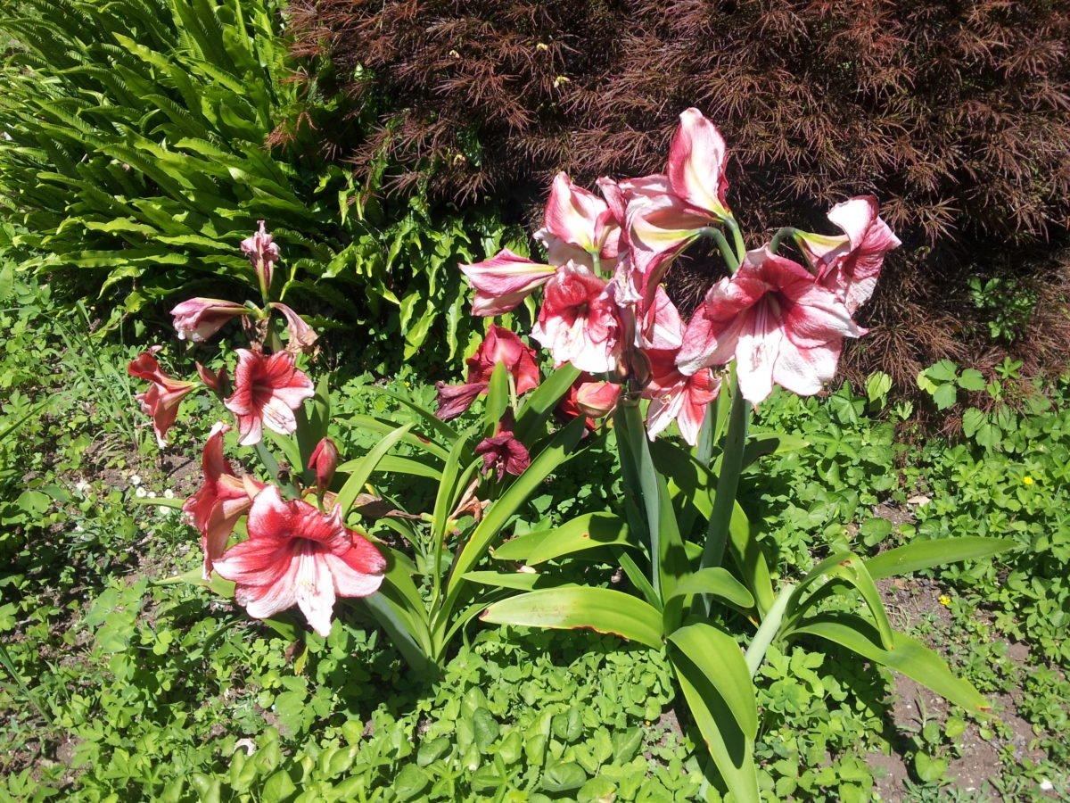 Amaryllis-fioritura