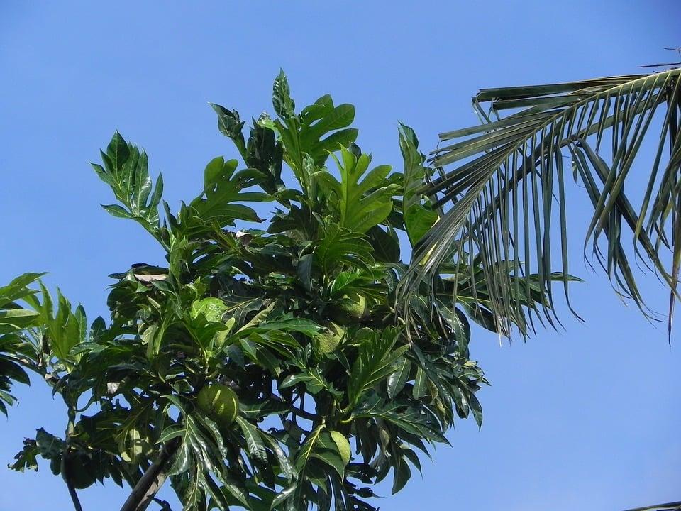 Artocarpus -Albero del pane
