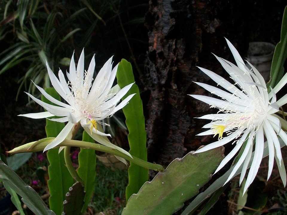 Lingua di suocera-Epiphyllum