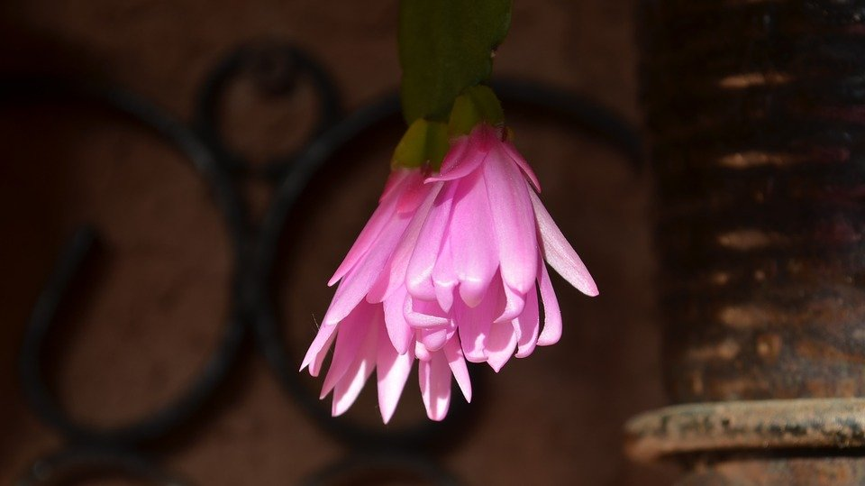 Lingua di suocera-fiore-curiosità
