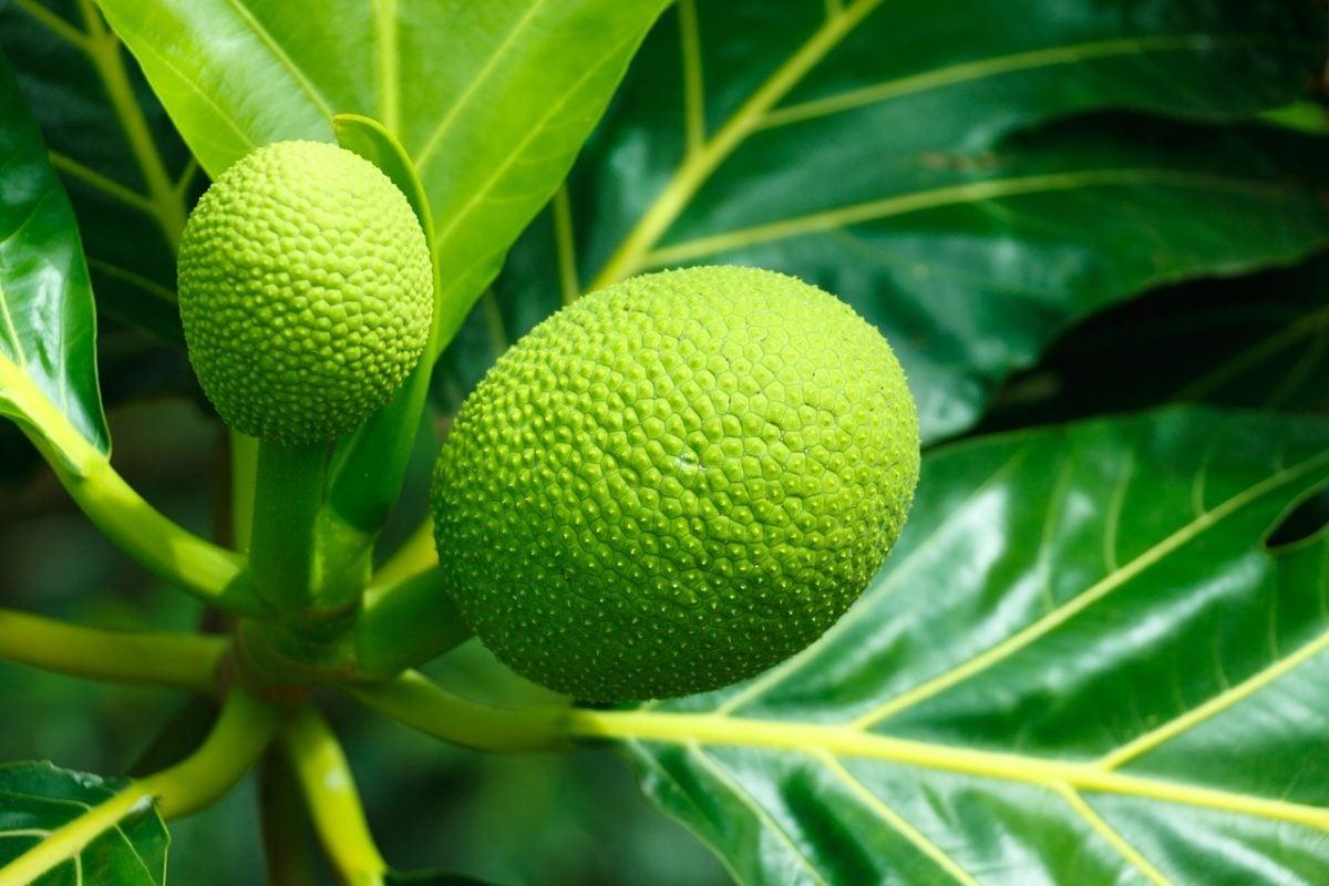Albero del pane- Breadfruit