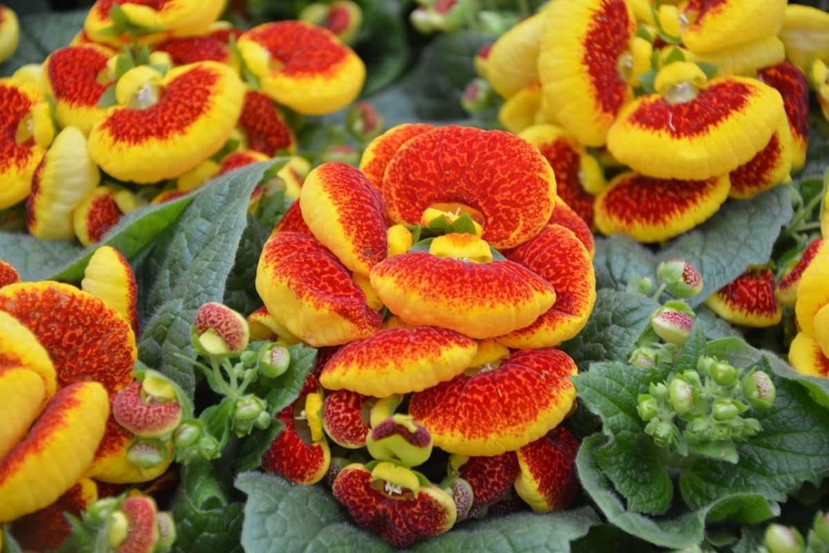 Calceolaria-pianta pantofolina