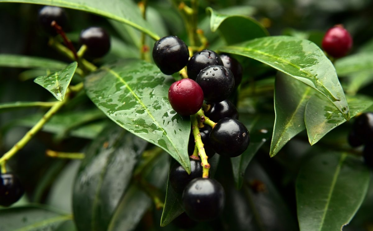 Lauroceraso-Prunus laurocerasus-bacche