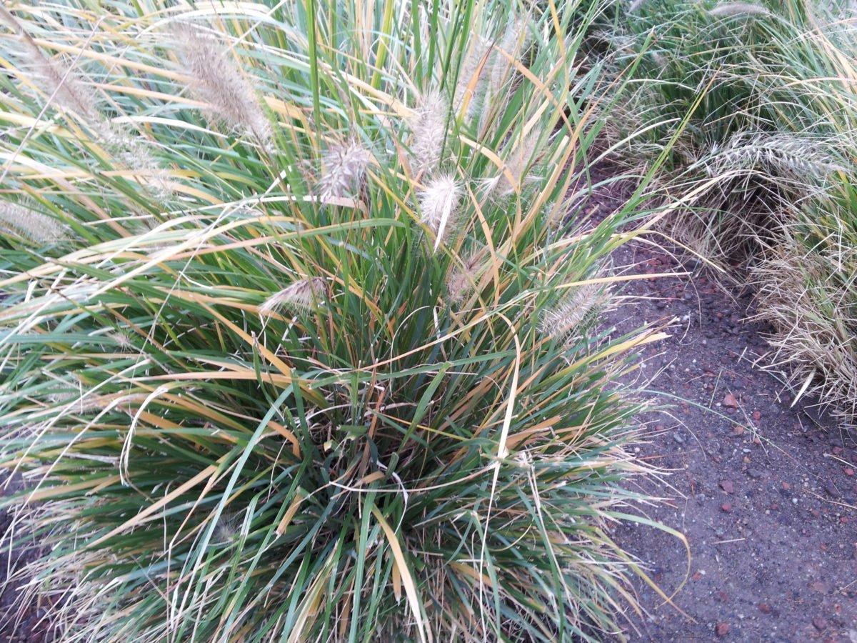 Pennisetum-Penniseto coltivazione